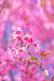 狂放的喜马拉雅樱桃花 库存照片