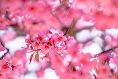 狂放的喜马拉雅樱桃花 库存图片