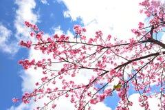 狂放的喜马拉雅樱花 免版税库存照片