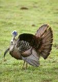 狂放的土耳其传播的尾巴 免版税库存照片