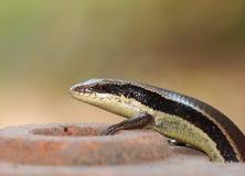 狂放的在家庭小蜥蜴的skink小型热带蜥蜴 免版税库存图片