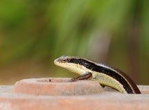 狂放的在家庭小蜥蜴的skink小型热带蜥蜴 库存图片