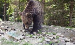 狂放的大男性棕熊 库存照片