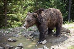 狂放的大男性棕熊 免版税库存图片