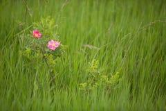 狂放的大草原上升了(罗莎arkansana) 库存图片