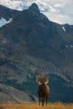狂放的大角野绵羊羊属canadensis落矶山脉科罗拉多 库存照片