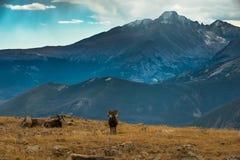 狂放的大角野绵羊羊属canadensis落矶山脉科罗拉多 图库摄影