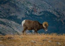 狂放的大角野绵羊羊属canadensis落矶山脉科罗拉多 免版税库存照片