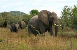 狂放的大象在南非 库存图片