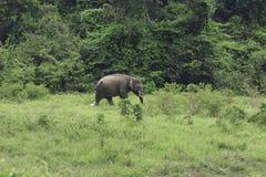 狂放的大象在深森林居住 库存照片