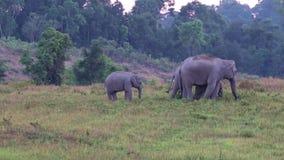 狂放的大象在Khao亚伊泰国 股票录像