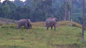 狂放的大象在Khao亚伊泰国 影视素材