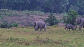 狂放的大象在Khao亚伊泰国 股票视频