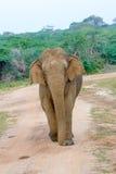 狂放的大象在Yala国家公园在斯里兰卡 免版税库存照片