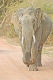 狂放的大象在Yala国家公园,斯里兰卡 图库摄影