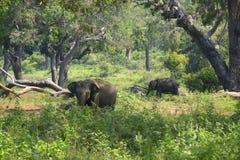 狂放的大象在Yala国家公园 斯里南卡 库存图片