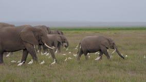 狂放的大象大牧群与吃在非洲大草原平原的婴孩的草  股票视频