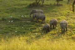 狂放的大象家庭 免版税库存图片
