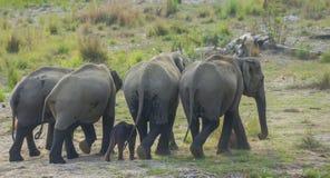 狂放的大象家庭 库存图片