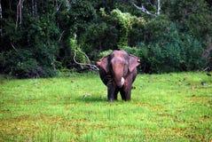 狂放的大象 图库摄影