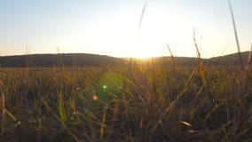 狂放的大领域看法与绿草的在日落背景 发光通过狂放的领域植被的温暖的夏天太阳 影视素材