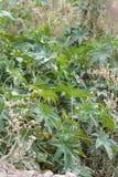 狂放的大麻灌木 库存图片