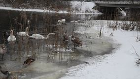 狂放的天鹅冬天本质上 影视素材