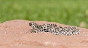 狂放的婴孩大草原响尾蛇响尾蛇viridis宏指令  免版税库存图片