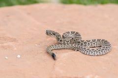 狂放的婴孩大草原响尾蛇响尾蛇viridis宏指令  免版税库存照片