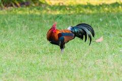 狂放的家畜,鸡在密林 免版税图库摄影