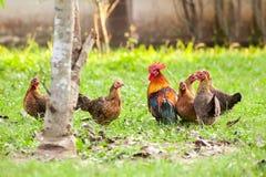 狂放的家畜,鸡在密林 库存图片