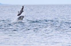 狂放的宽吻海豚tursiops truncatus 免版税库存图片