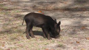 狂放的小猪在佛罗里达沼泽地 股票视频