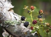 狂放的山黑莓 免版税图库摄影