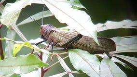 狂放的巨型红翼的蚂蚱Tropidacris cristata 免版税库存照片