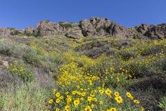 狂放的布什向日葵在绍森欧克斯,加利福尼亚 图库摄影