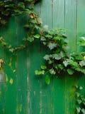 狂放的常春藤背景长满的老绿色门 库存照片