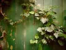 狂放的常春藤背景长满的老绿色门 免版税库存照片