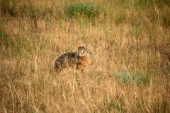 狂放的干草原野兔 库存图片