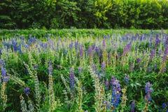 狂放的开花沼地开花在夏天草甸领域的羽扇豆在日落日出 库存照片