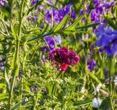 狂放的开花的花在草甸 库存照片