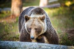 狂放的成人棕熊 免版税库存图片