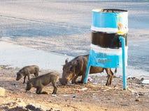 狂放的成人warthog和小动物展示自然行为吃街道食物的小组通过弯曲在地方街道上的前面腿 图库摄影