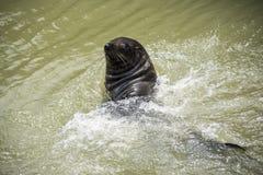 狂放的新西兰海狗- Goolwa锁 库存照片