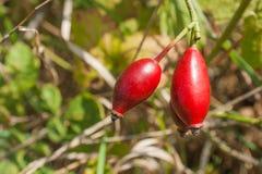 狂放的新鲜的eglantine灌木用红色果子 免版税库存图片