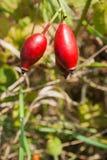 狂放的新鲜的eglantine灌木用红色果子 免版税库存照片