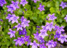 狂放的春天紫罗兰花, 免版税库存图片