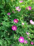 狂放的有桃红色和黄色花的香水月季灌木 免版税库存图片