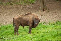 狂放的木北美野牛 buffaloed 免版税库存图片