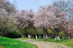 狂放的杏树花 库存照片